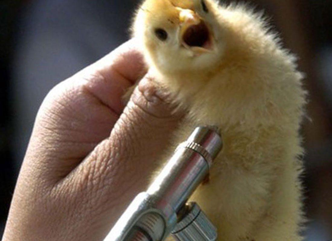 Как ухаживать за домашней птицей – кормление и вакцинация