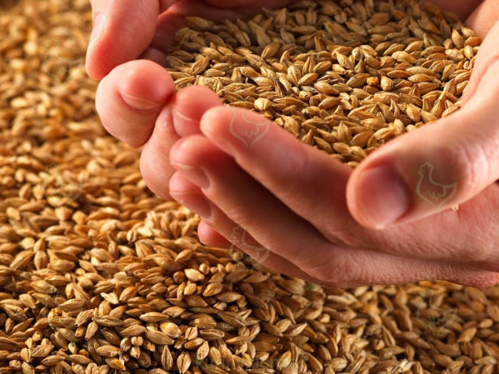 Giá lúa mì Nga giảm do dự báo vụ thu hoạch bội thu